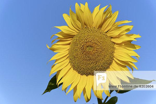 Sunflower (Helianthus annuus)  flowering