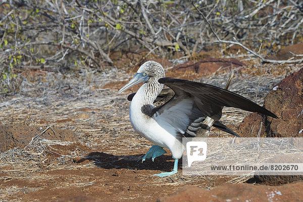 Galapagos Blaufußtölpel (Sula nebouxii excisa)