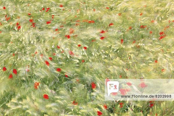 Föhnsturm fegt mit 80 Kmh durch ein Gerstenfeld mit Mohn