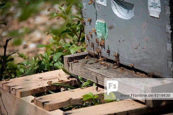 Vereinigte Staaten von Amerika  USA  Bienenstock  Biene  Maryland