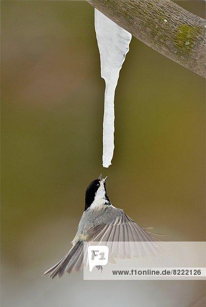 heraustropfen tropfen undicht Schwarzkopfmeise Poecile atricapillus füttern Eiszapfen Ahorn