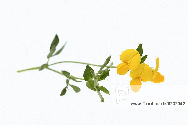 Gewöhnlicher Hornklee oder Gemeiner Hornklee (Lotus corniculatus)