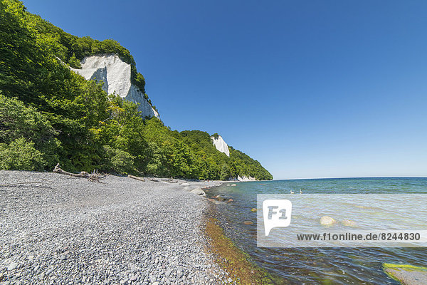 Chalk cliffs  red beech forest on the coast