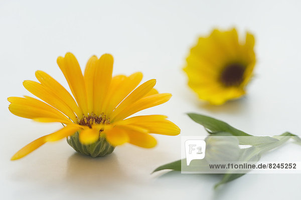 Pot Marigold (Calendula officinalis)  medical plant  studio shot