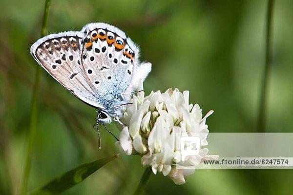 Blume  blau  Schmetterling
