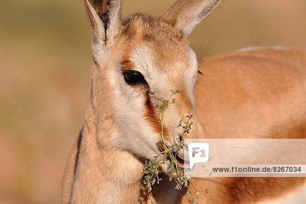 Young springbok  Antidorcas marsupialis  eating flowers  Kgalagadi Transfrontier Park  Northern Cape  South Africa.