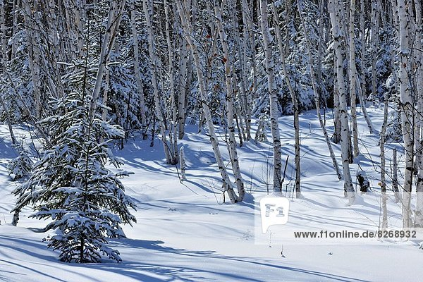 Birch and spruce trees with fresh snow  Greater Sudbury   Ontario  Canada.