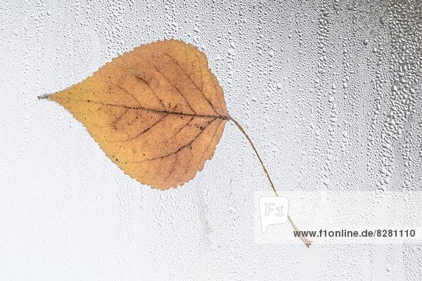 Blatt am regenüberdeckten Fenster geklebt