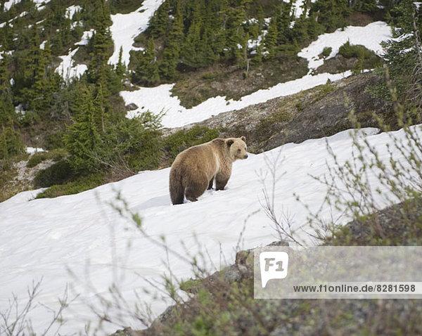 Bär auf schneebedecktem Berg am Leduc Glacier  British Columbia  Kanada Bär auf schneebedecktem Berg am Leduc Glacier, British Columbia, Kanada,