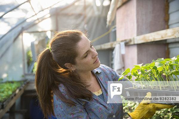 Auf der Farm. Eine Frau trägt Tabletts mit jungen biologisch angebauten Sämlingen,  Bohnenpflanzen,  aus einem Gewächshaus.