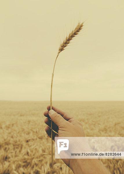 Eine menschliche Hand hält einen Weizenstengel mit einer reifenden Ähre an der Spitze.