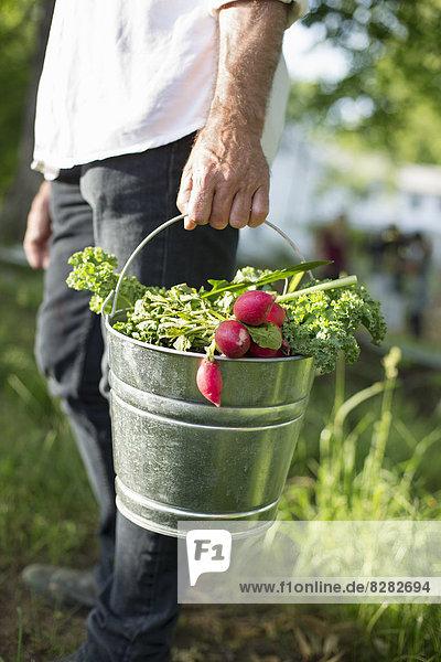 Biologische Landwirtschaft. Sommerfest. Ein Mann trägt einen Metalleimer mit geernteten Salatblättern  Kräutern und Gemüse.