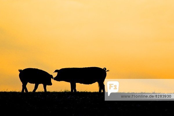 Sonnenuntergang  Großbritannien  Bauernhof  Hof  Höfe  Pflanze  England