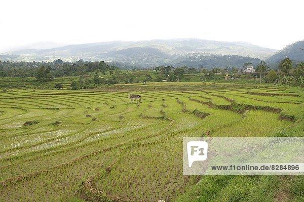 Feld  Reis  Reiskorn  seicht  Veranda  Südostasien  Asien  Indonesien  Java