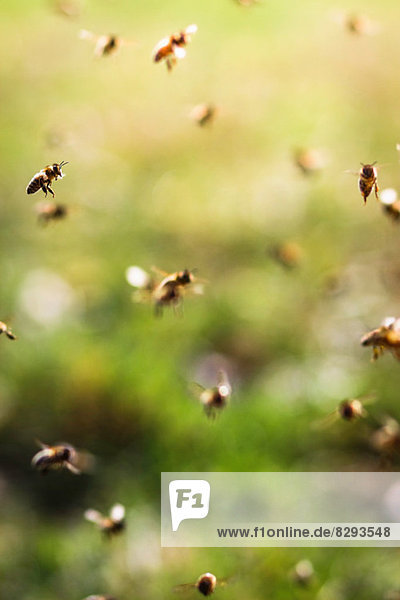 Bienen fliegen  Nahaufnahme