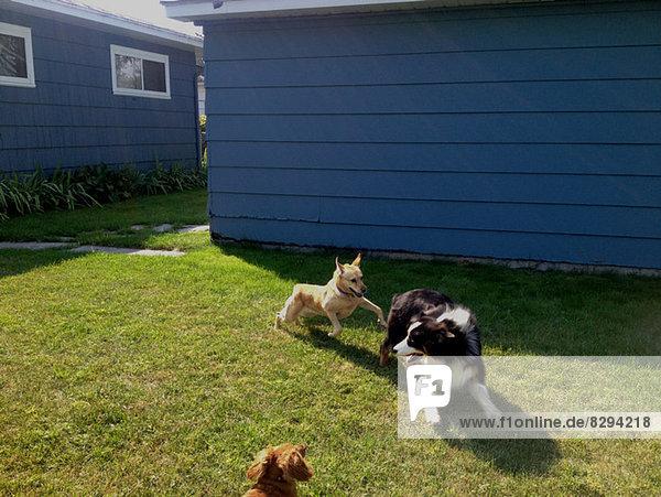 Drei Hunde jagen sich auf Rasen.