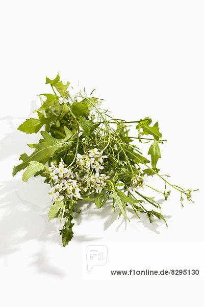 Weiße Rakete (Diplotaxis erucoides) mit Blüte