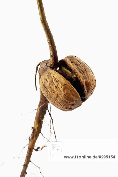Nussbaum mit Wurzel und kleinem Stamm