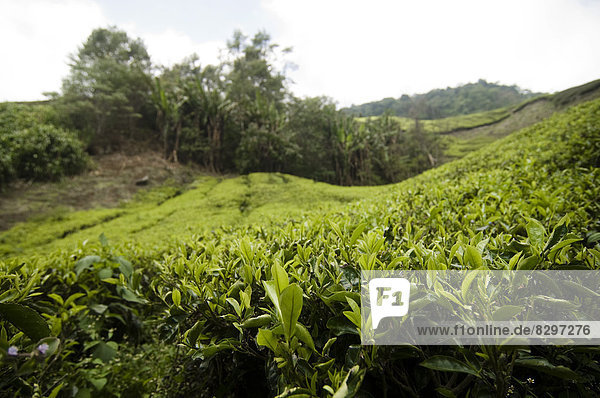 Malaysia  Cameron Highlands  Tea field