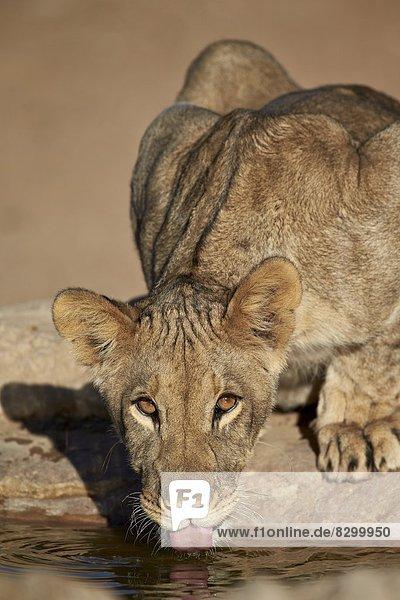 Lion (Panthera leo) cub drinking  Kgalagadi Transfrontier Park  encompassing the former Kalahari Gemsbok National Park  South Africa  Africa