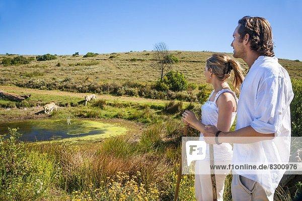 Südliches Afrika  Südafrika  Wasser  Raubkatze  sehen  Tourist  nähern  Loch  2  Afrika  Löwe - Sternzeichen