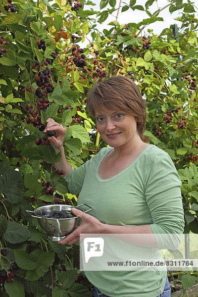 Frau erntet Brombeeren im Garten und sammelt diese in einer Schüssel