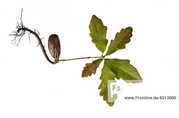 Eichenkeimling mit Wurzel  Eiche (Quercus)