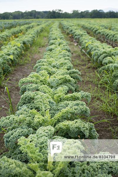 Reihen von lockig-grünen Gemüsepflanzen  die auf einem Biobauernhof wachsen.