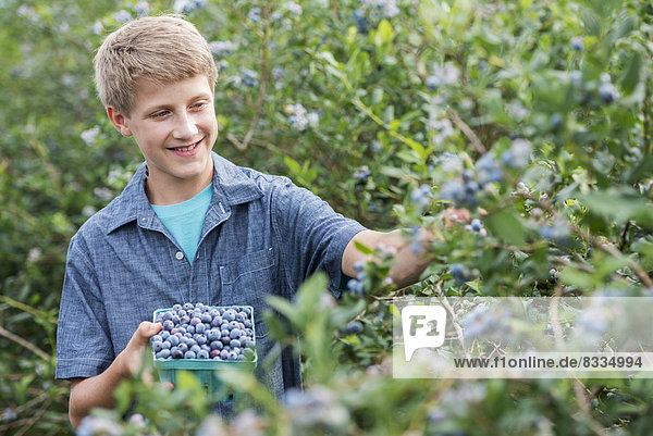 Ein Bio-Obstbetrieb. Eine Familie  die die Beerenfrüchte von den Büschen pflückt.