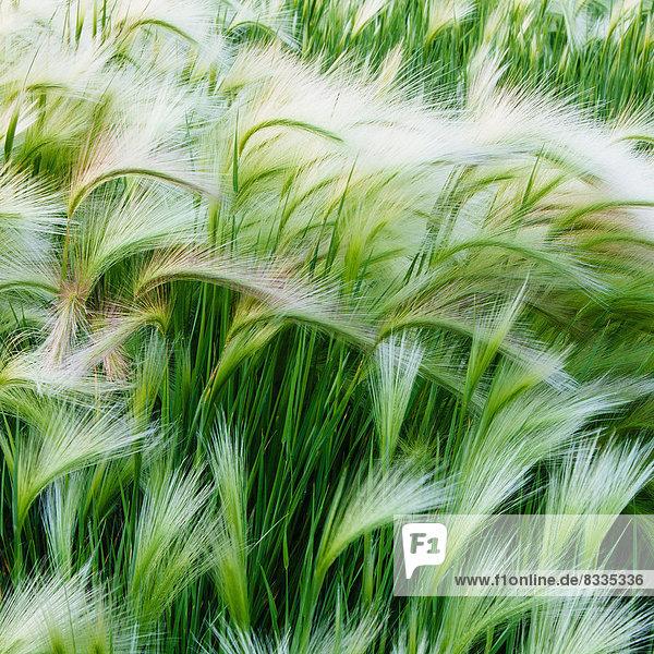 Grüne Gräser  die im Wind wehen  im Glacier-Nationalpark.