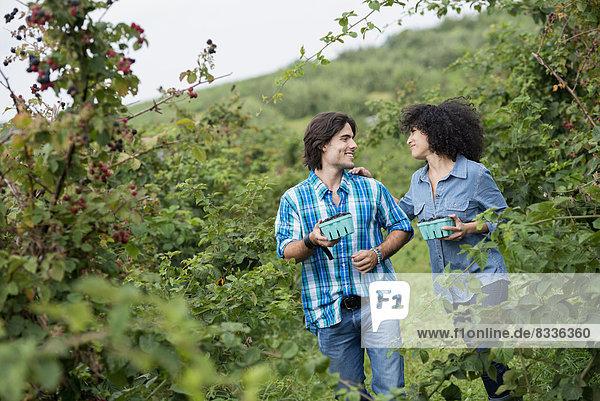 Pflücken von Brombeerfrüchten auf einem Bio-Bauernhof. Ein Paar zwischen den Obstbüschen.