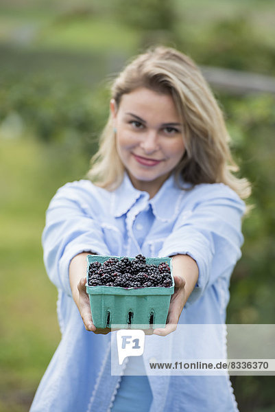Picking blackberry fruits on an organic farm. A woman holding out a full punnet of glossy berries.