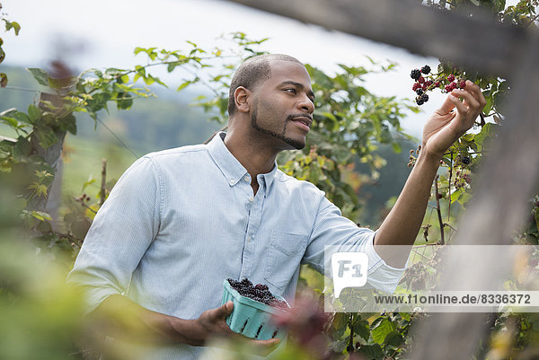 A man reaching up to pick berries from a blackberry bush on an organic fruit farm.