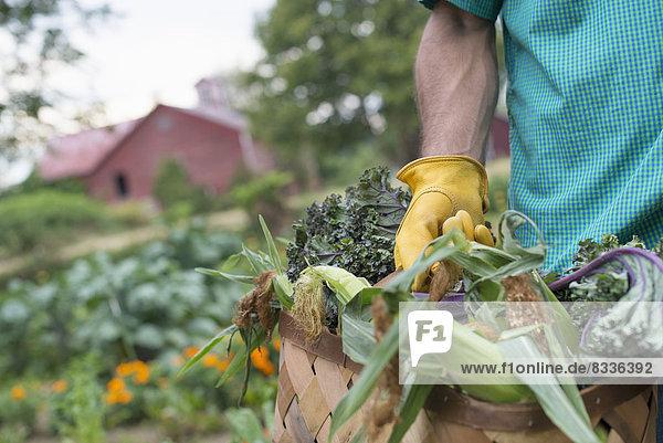 Ein biologischer Gemüsegarten auf einem Bauernhof. Ein Mann trägt einen Korb mit frisch geerntetem Mais auf dem Kolben.