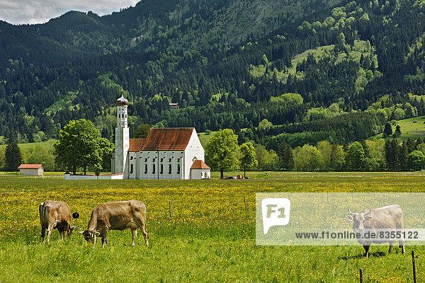 Kirche St. Coloman oder Colomanskirche  vorne eine Frühlingswiese mit Kühen  Schwangau  Ostallgäu  Allgäu  Schwaben  Bayern  Deutschland