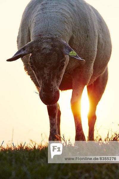 Schaf auf dem Deich bei Sonnenuntergang  Insel Pellworm  Deutschland