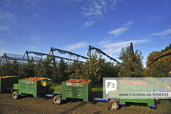 Vorne Kisten mit Äpfeln (Malus domestica)  hinten die Apfelplantage mit Hagelnetzen  Ernte auf einer Apfelplantage  Mittelfranken  Bayern  Deutschland