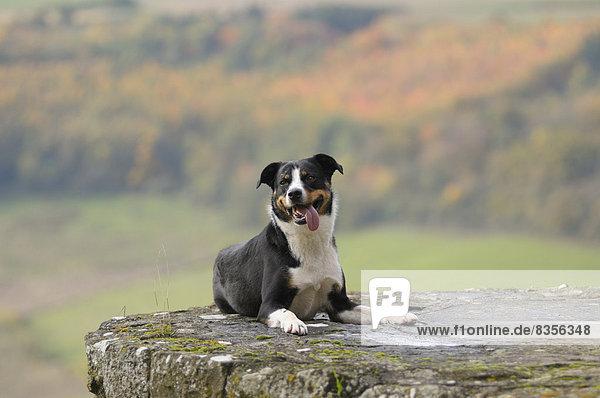 Appenzeller Sennenhund  Deutschland