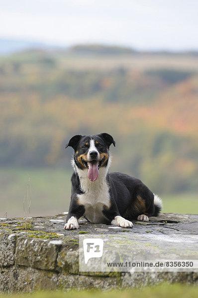 Appenzeller Sennenhund sitzt auf einer Mauer  Deutschland