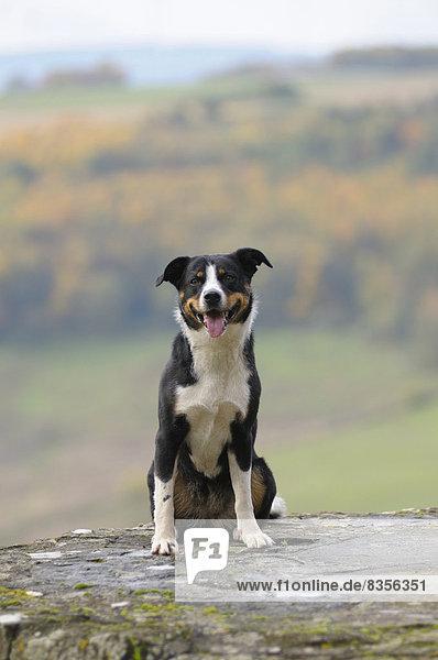 Appenzeller Sennenhund sitzt auf einer Mauer, Deutschland