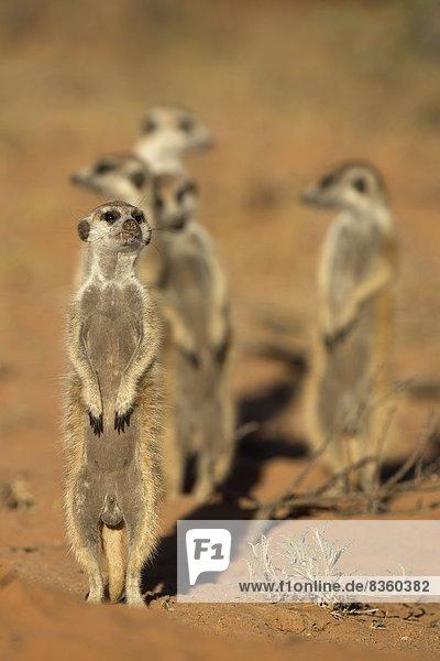 Meerkat (Suricata suricatta)  Kgalagadi Transfrontier Park  Northern Cape  South Africa  Africa