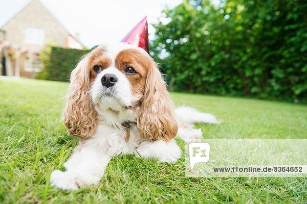 Hund mit Partyhut auf Gras liegend