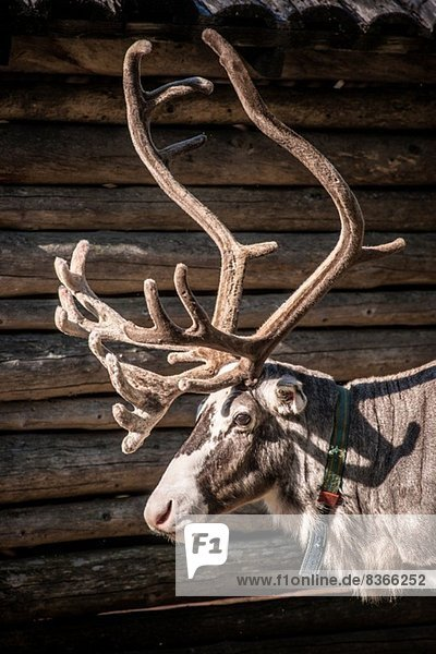 Rentier  Lappland  Schweden