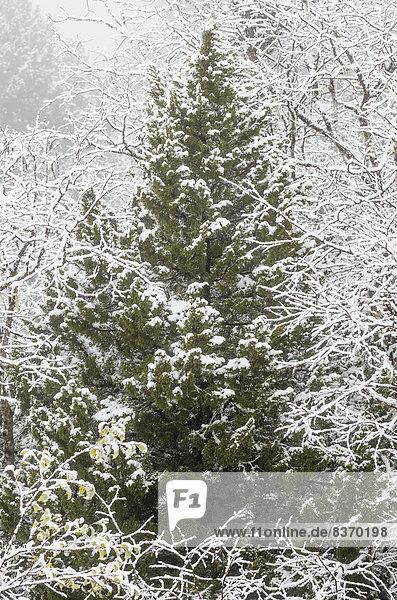 bedecken  Baum  Nebel  immergrünes Gehölz  Laubbaum  Schnee