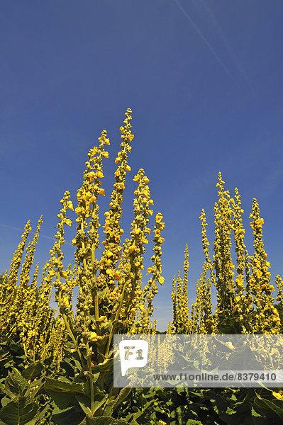 Großblütige Königskerzen (Verbascum densiflorum)  gegen blauen Himmel  Bayern  Deutschland