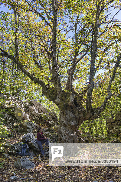 Berg-Ahorn (Acer pseudoplatanus)  darunter sitzt eine Wanderin  Naturpark Parco delle Madonie  bei Petralia Sottana  Sizilien  Italien