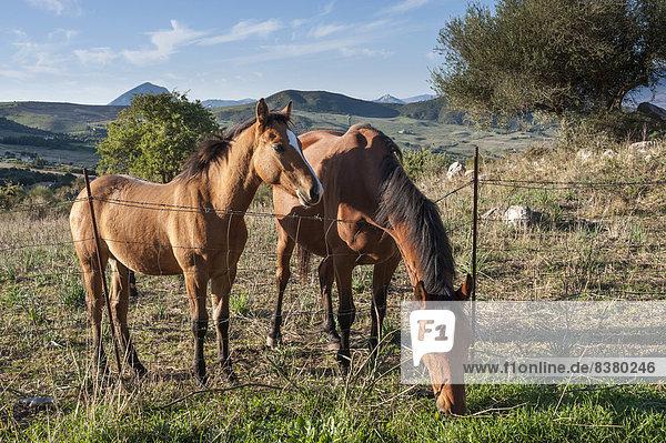 Stute mit Fohlen auf der Weide  Naturpark Parco delle Madonie  bei Collesano  Provinz Palermo  Sizilien  Italien