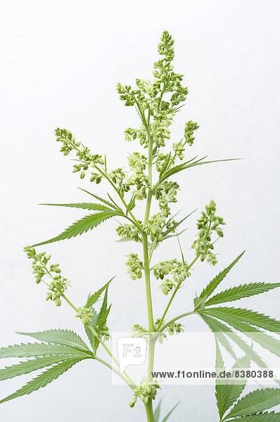 Blütenknospen einer männlichen Cannabis-Pflanze (Cannabis sativa)