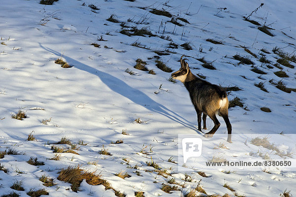 Chamois (Rupicapra Rupicapra)  male in the mating season  Karwendel Mountains  Tyrol  Austria
