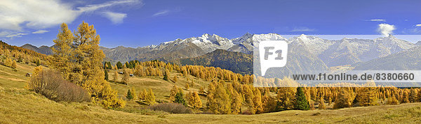Larch forest (Larix) in autumn  behind the Zillertal Alps with the mountains Olperer  Fussstein  Schrammacher  and Sagwandspitze  Tyrol  Austria
